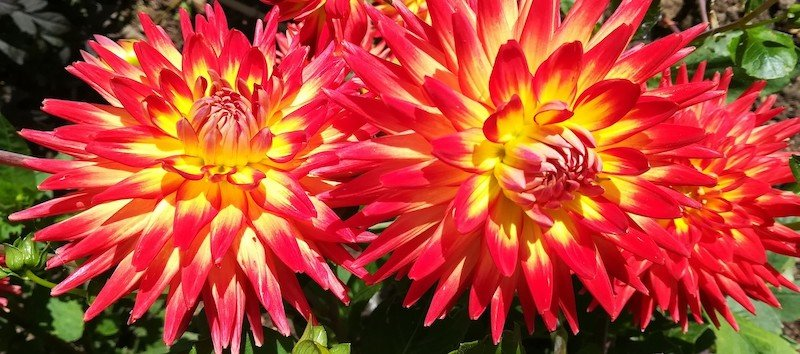 Dahlia Collection Woodham SHS Gardens 2019