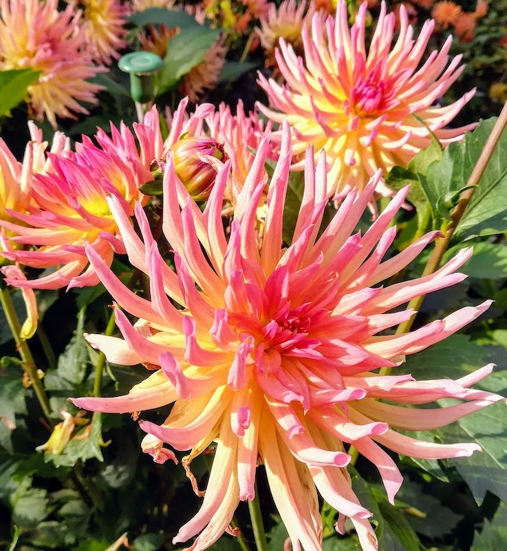 orange and light colour dahlia collection october facebook